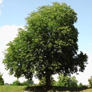 Leistungen-Baumpflege-Baumfällung